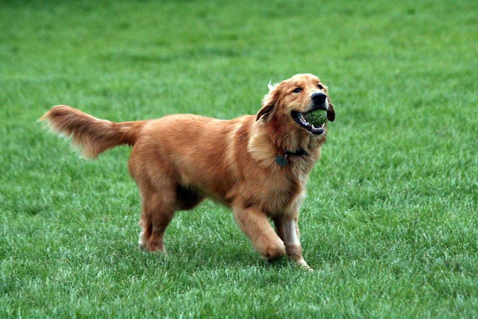 golden-retriever-fetching-a-tennis-ball-pv
