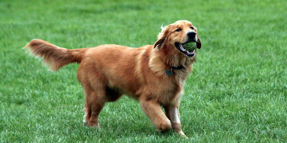 golden-retriever-fetching-a-tennis-ball-pv